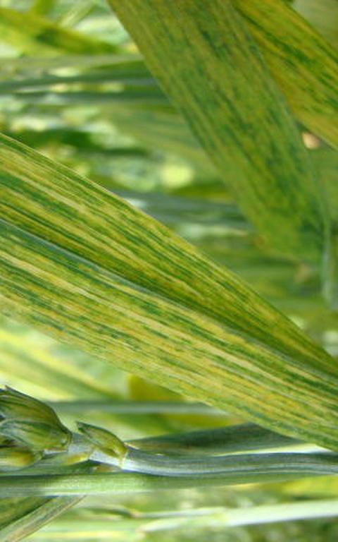 Folha de trigo com manchas amareladas, um dos sintomas do mosaico-do-trigo.
