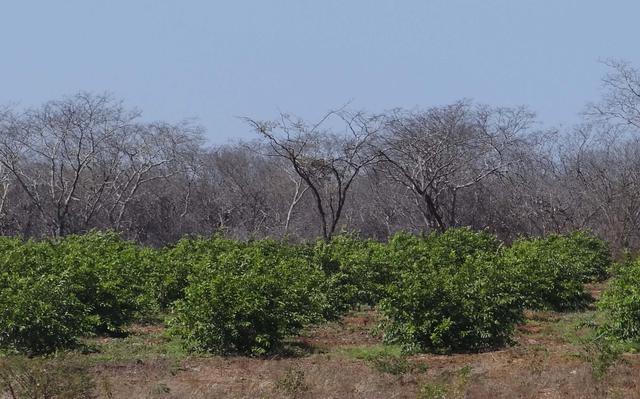 Goiabeiras e vegetação arbórea na fazenda São Paulo dos Dantas, município da Prata, no Cariri Paraibano.