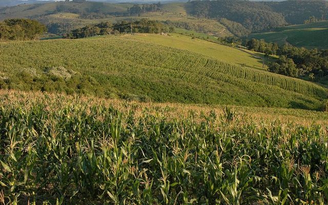 plantação de milho ocupa morros