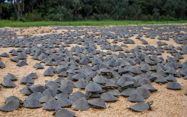 centenas de filhotes de tartarugas sobre areia