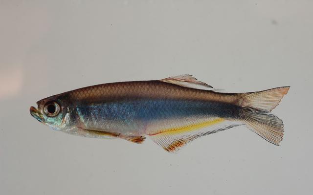 visão lateral de macho da espécie Mimagoniates microlepis, peixe pequeno de corpo alongado e coloração acinzentada