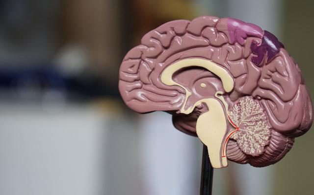 modelo de plástico de cérebro humano