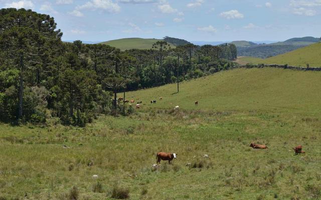 campo aberto com pasto verde e algumas araucárias. em primeiro plano, uma vaca olha para a foto e outras estão espalhadas pastando no campo.