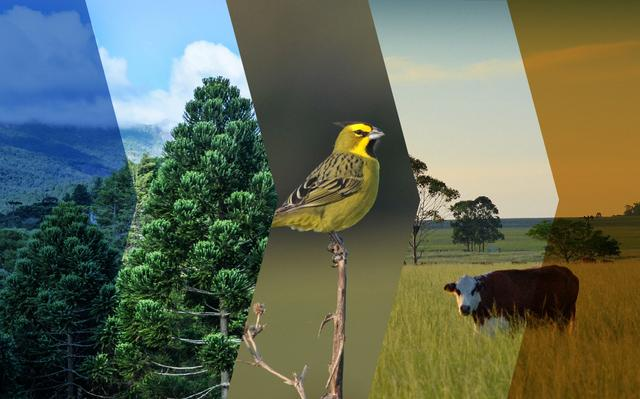 montagem de imagens relacionadas aos campos sulinos: a primeira mostra área tomada por vegetação de araucárias, no centro, pássaro amarelo pequeno se apoia em galho, à direita, vaca em campo olha na direção da câmera